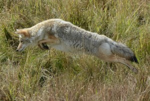 Coyote hunting voles.