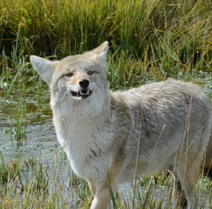 Wiley coyote?