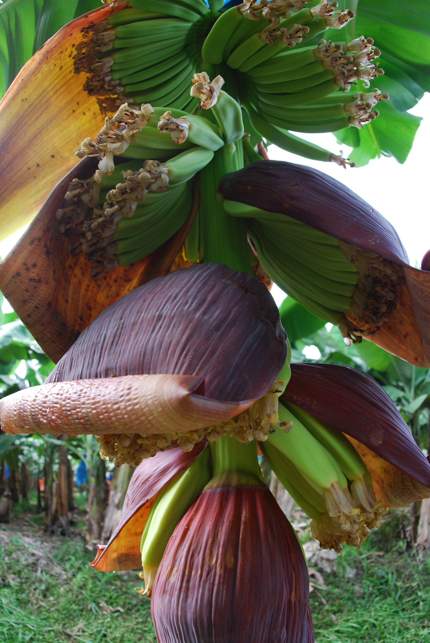 Banana flowers and young fruits