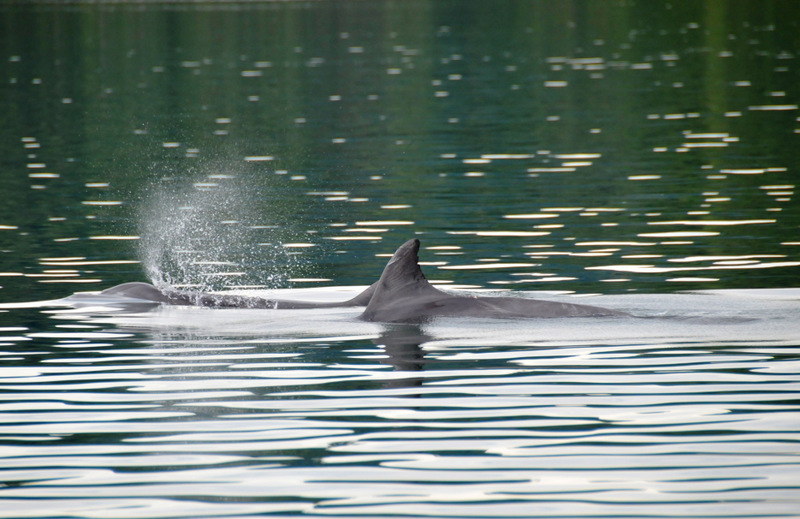 Bottlenose dolphins in Golfo Dulce.