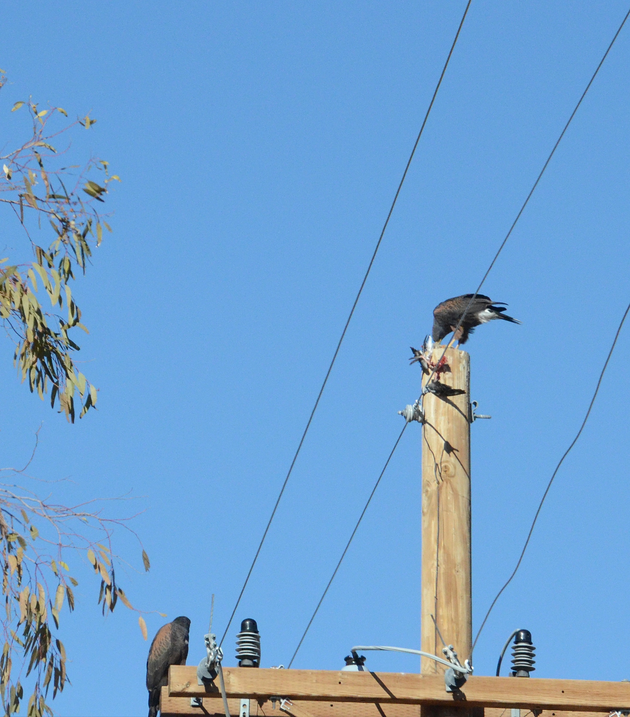 Pair of Harris's hawks after a kill.  You can usually tell the alpha female by her position higher on this telephone pole.  She eats first.