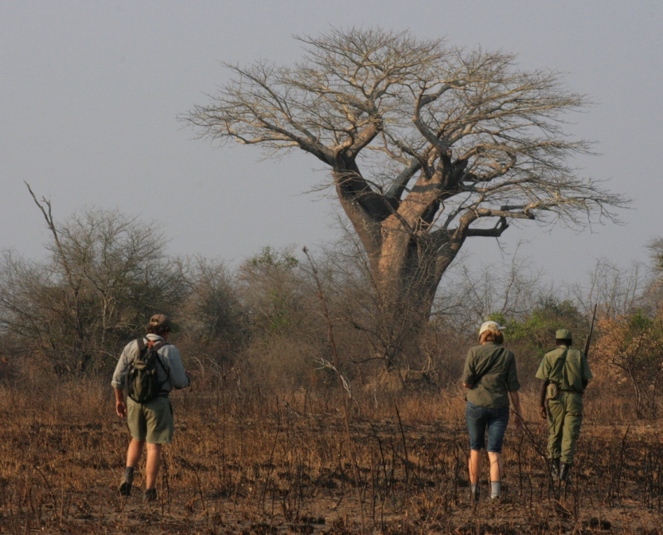 Walking towards a baobab tree