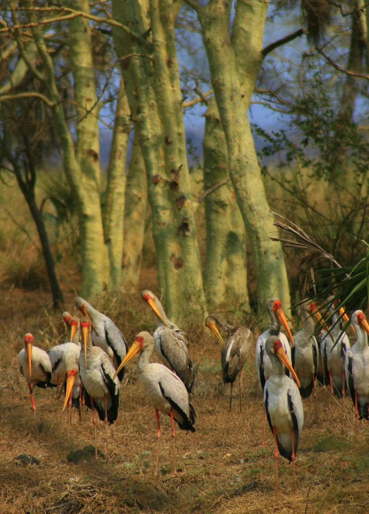 Yellow-billed storks - one of the many bird species at Gorongosa