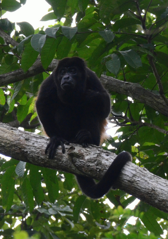Male mantled howler monkey.