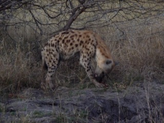 Spotted hyena (Photo by Kay Trotman)