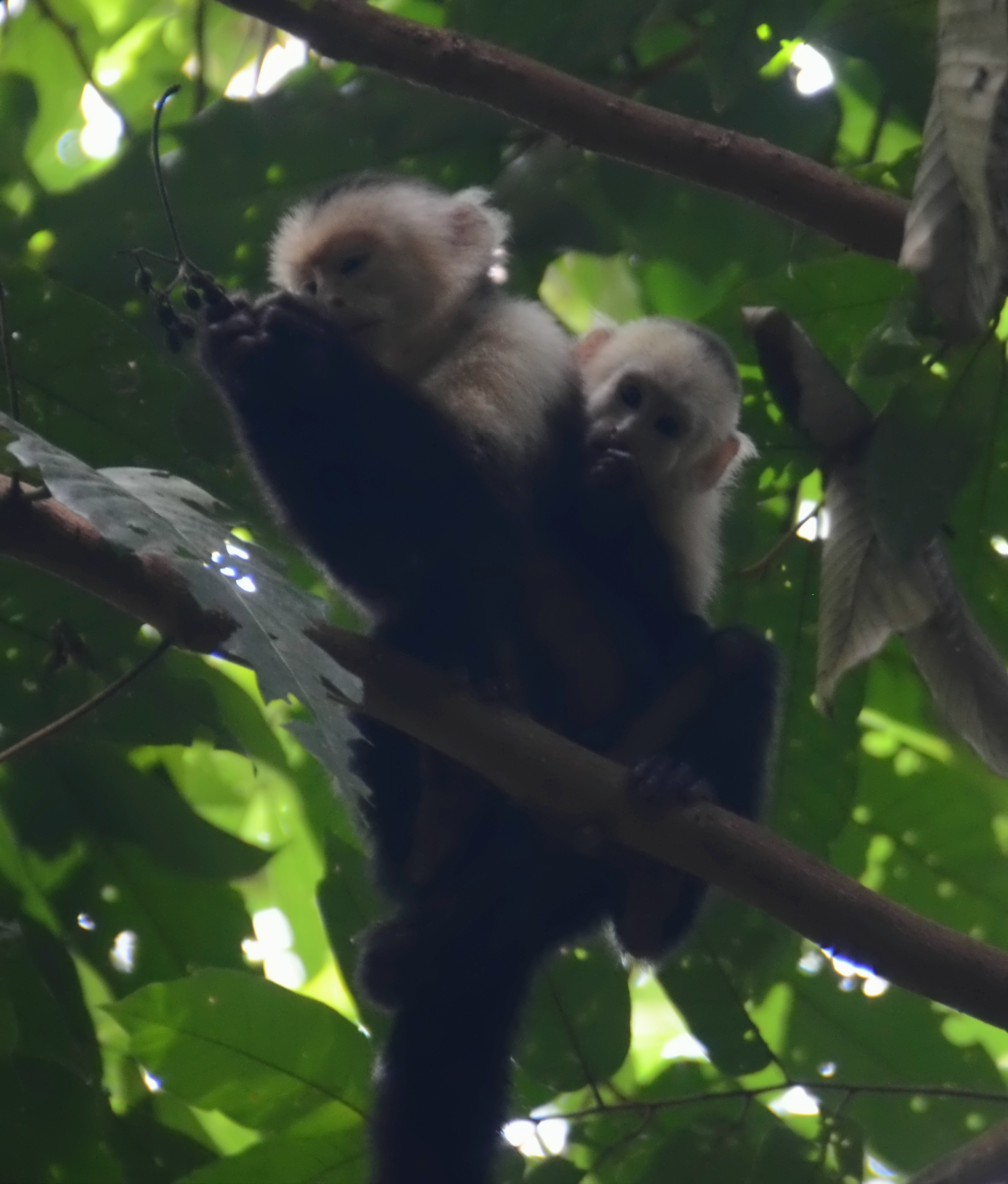 Capuchin (white-faced) monkeys.