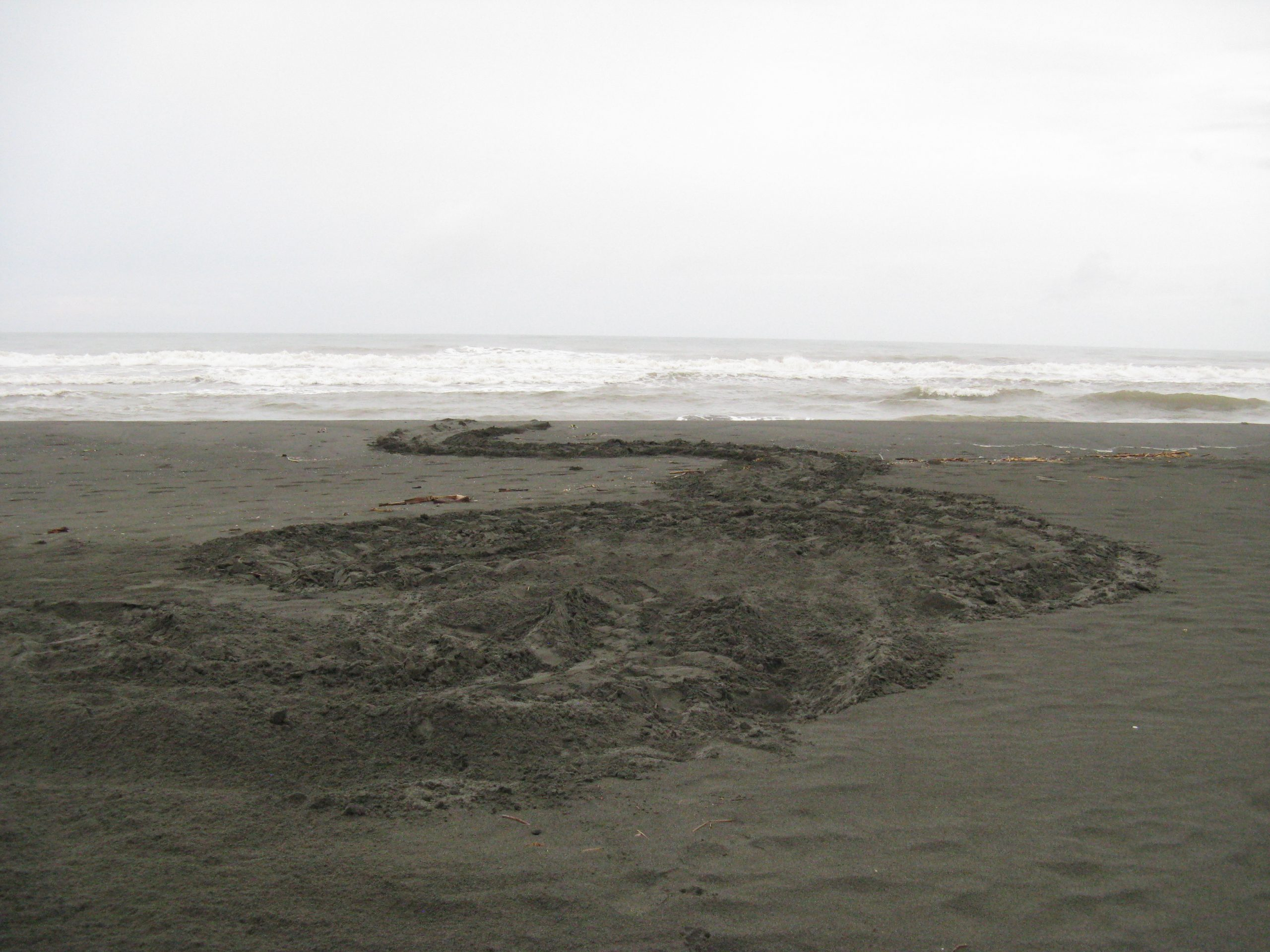 Leatherback tracks in the sand
