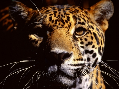 Jaguar - Flagship Species of Mesoamerica's Tropical Forests
