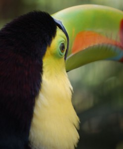 keel-billed toucan costa rica birding eco tours