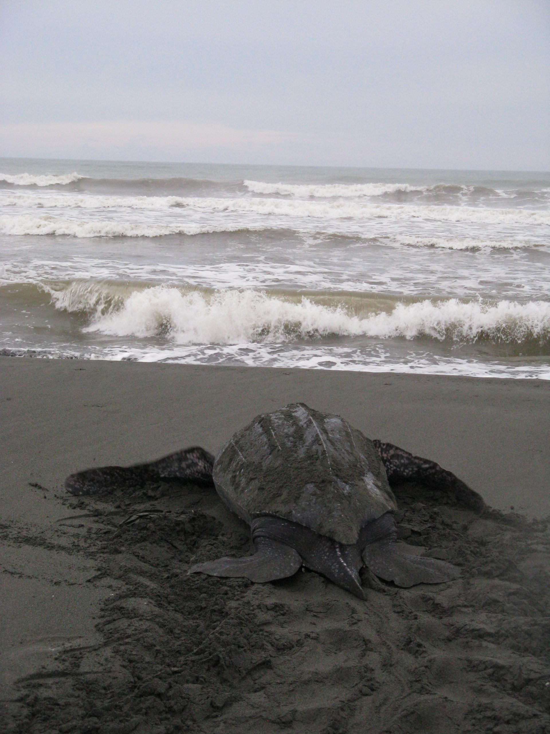 Endangered leatherback sea turtle returning to the ocean after laying eggs on a Caribbean beach.