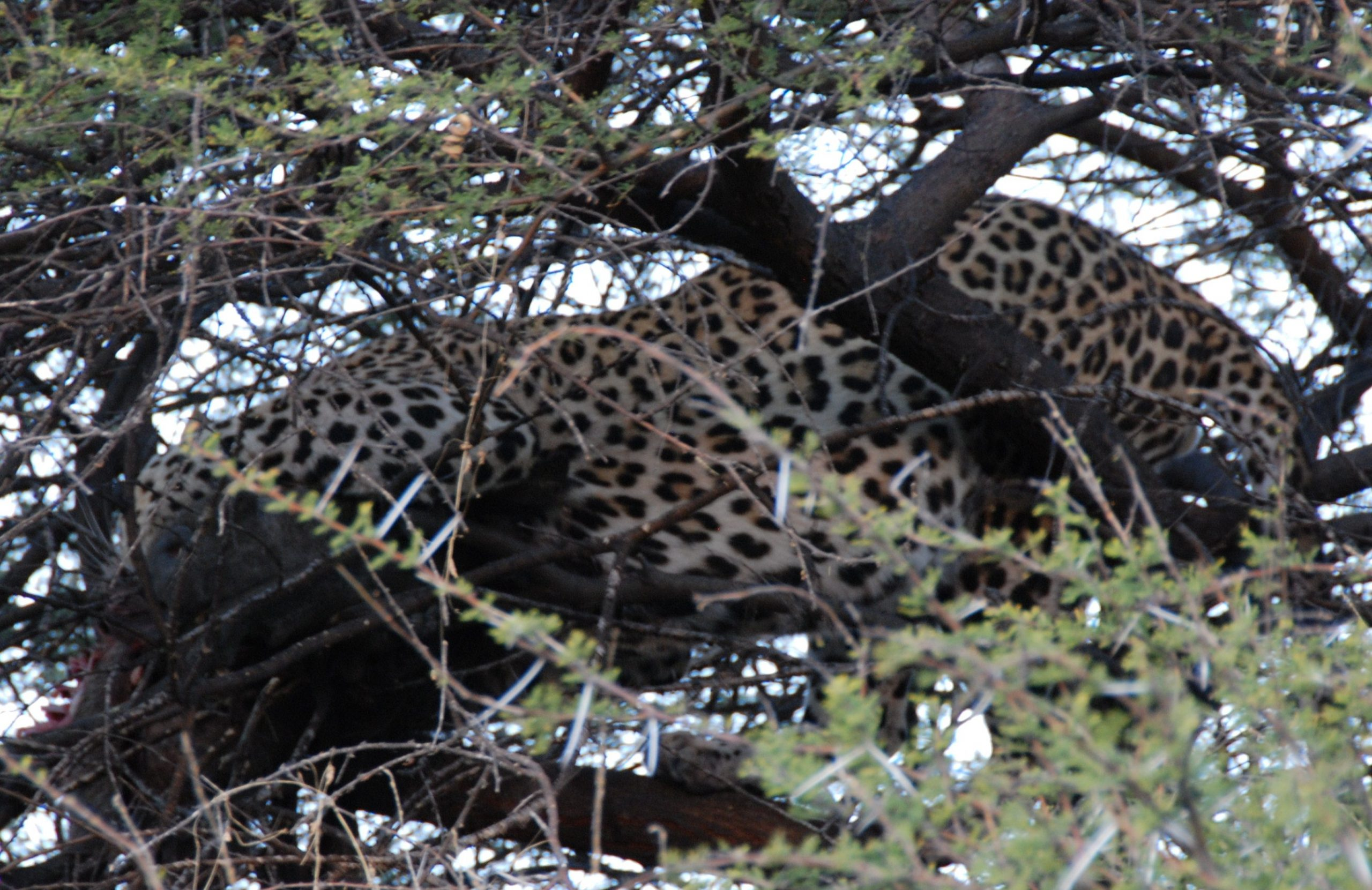 Leopard feeding on warthog - Santawani Concession, Botswana