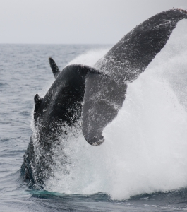 Acrobatic display by a humpback whale.
