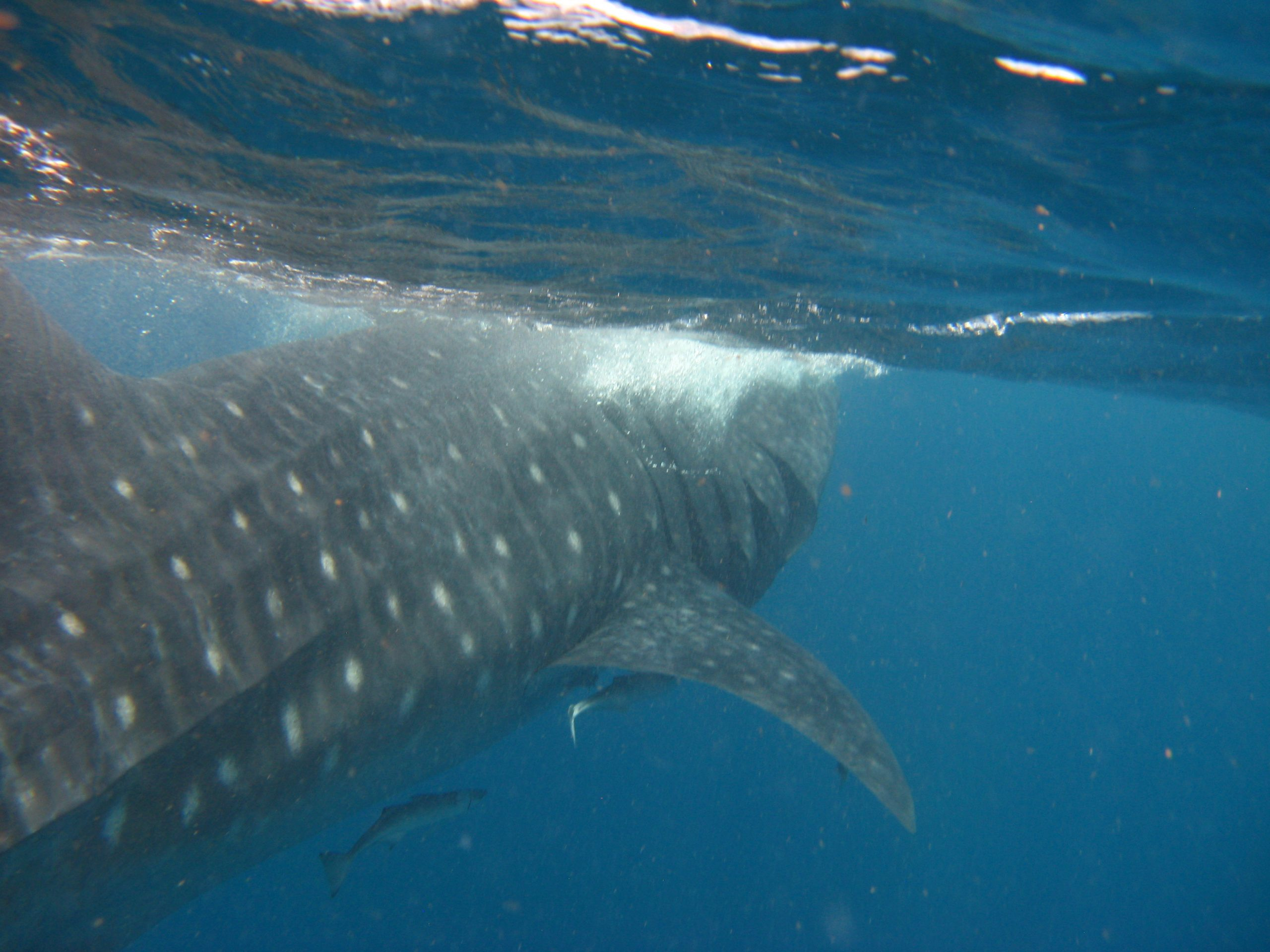 Swimming with a whale shark near Isla Mujeres, Mexico.