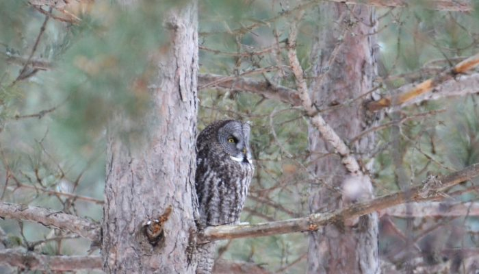 Great Gray Owl - Winter Birding in Minnesota