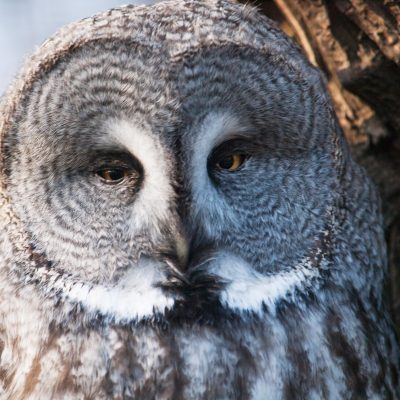 Great Gray Owl Stock