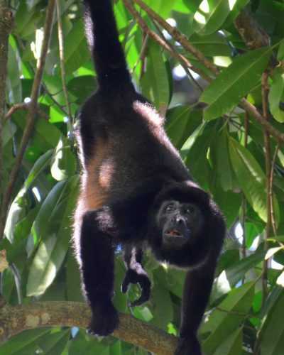 Howler monkey copy