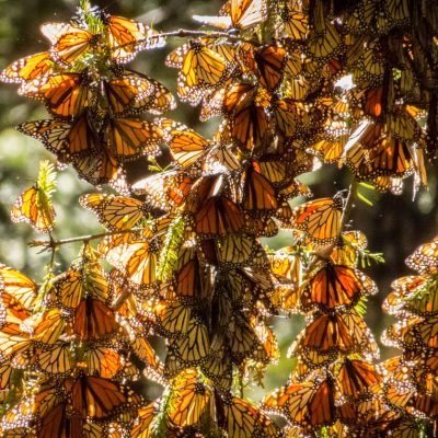 Monarch Butterfly Cluster - Mexico stock