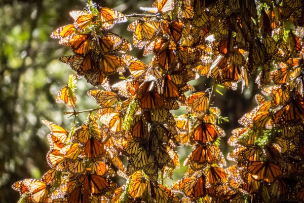 Monarch Butterflies in Mexico - Stock